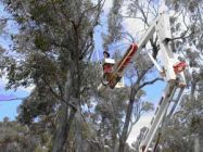 We used a cherrypicker to make observations of ants using arboreal sugars in the canopies of trees in remnant bushland. Some ants feed predominantly on sugars derived from plants, such as nectar and honeydew, a waste product excreted by sap-sucking bugs including tree hoppers and scale insects. (Photo by Natalie Banks 2006)