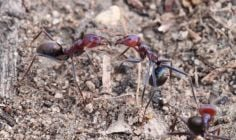 Meat ants engaged in ritualised fighting near Hopetoun.