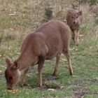 A female hog deer and her fawn on Sunday Island, Victoria.