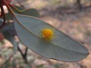 Lerp of nymph of a Creiis sp. (Hemiptera: Aphalaridae) on Eucalyptus dumosa. Photo by Martin Steinbauer