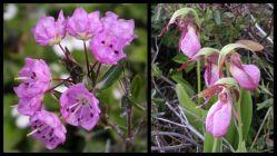 Kalmia polifolia (Ericaceae) LHS, and Cypripedium acaule (Orchidaceae) RHS - serpentine habitat Mt Olivine Quebec