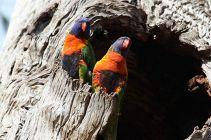 Rainbow Lorikeets - Trichoglossus Haematodus