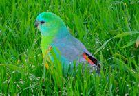 Red Rump Parrot - Psephotus Haematonotus