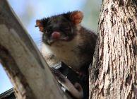 Ringtail Possum - Pseudocheirus Peregrinus