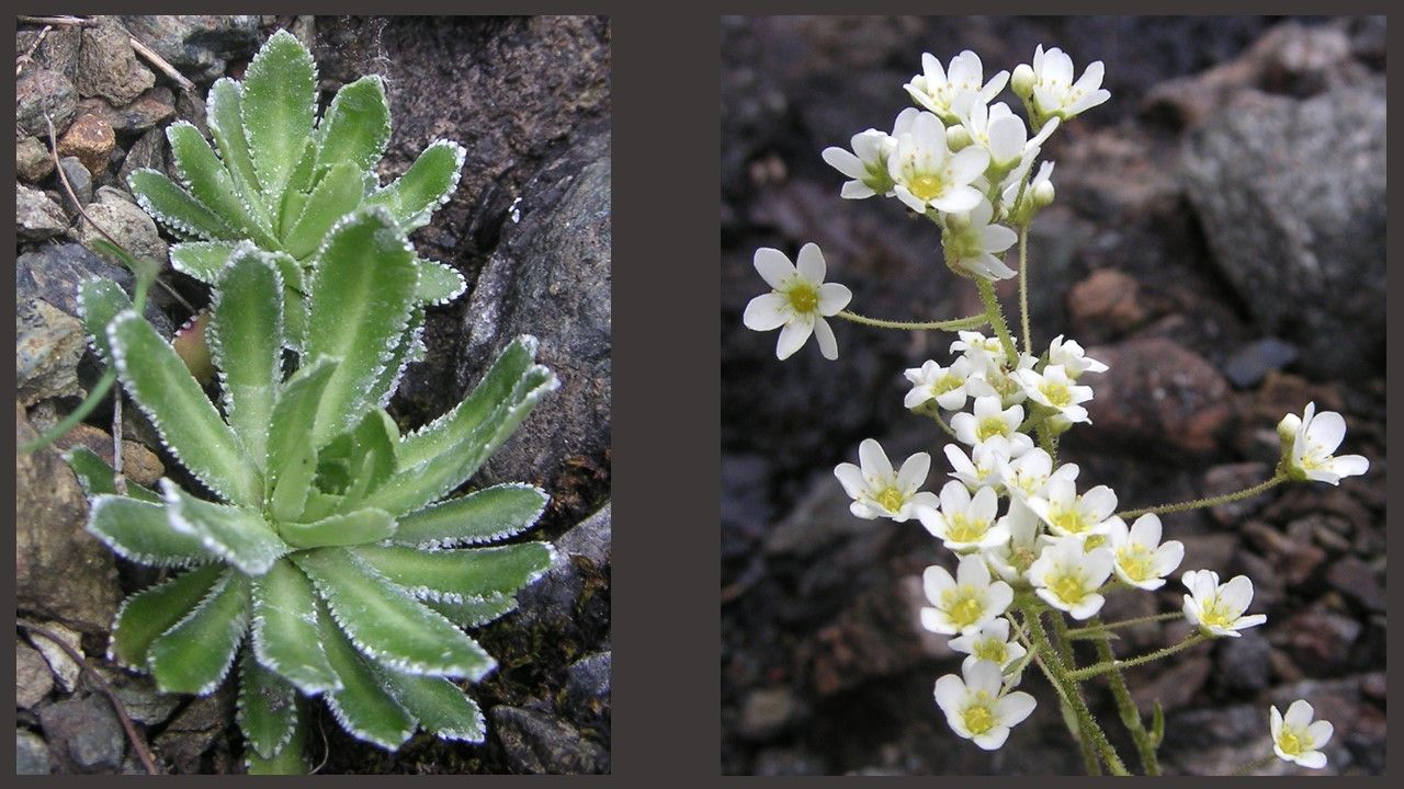 Saxifrage (Saxifragaceae) - serpentine habitat, northern Italy.  Note crystalline guttation exudate on leaves.